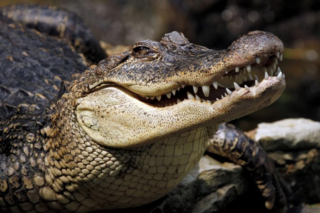 krokodil-morda-opasnyj